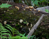 1557 Coral Fungus sp.jpg