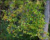 1697 Winterberry.jpg