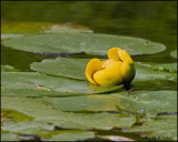 1725 Yellow Pond Lily.jpg