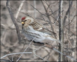 0494 Common Redpoll.jpg