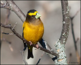 1053 Evening Grosbeak male.jpg