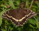 1690 Palamedes Swallowtail.jpg