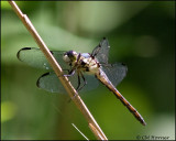 1774 Great Blue Skimmer female