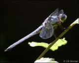 1790 Great Blue Skimmer male