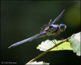 1792 Great Blue Skimmer male