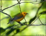 1803 Prothonotary Warbler.jpg