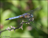 1888 Blue Dasher male.jpg