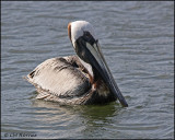 2026 Brown Pelican.jpg