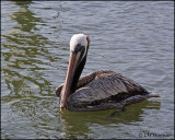 2029 Brown Pelican.jpg