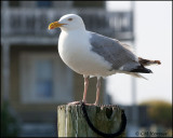 2039 Herring Gull.jpg