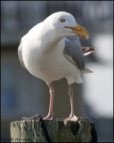 2041 Herring Gull.jpg