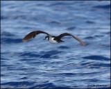 2393 Audubon's Shearwater.jpg