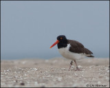 2425 American Oystercatcher banded .jpg