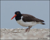 2433 American Oystercatcher banded.jpg