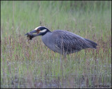 2541 Yellow-crowned Night-Heron trying to eat Northern Diamondback Terrapin