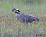 2543 Yellow-crowned Night-Heron trying to eat Northern Diamondback Terrapin