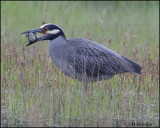 2554 Yellow-crowned Night-Heron trying to eat Northern Diamondback Terrapin