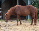 2567 Lightning the Chincoteague Pony.jpg