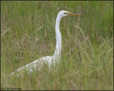 2685 Great Egret.jpg
