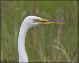 2686 Great Egret portrait.jpg