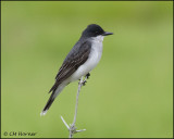 2693 Eastern Kingbird.jpg