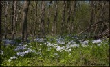 2839 Wild Blue Phlox