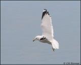 1554 Ring-billed Gull.jpg