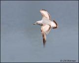 1570 Ring-billed Gull.jpg