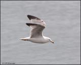 1627 Ring-billed Gull.jpg
