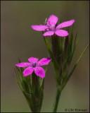 2967 Deptford Pink.jpg