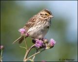 Emberizids (Sparrows)
