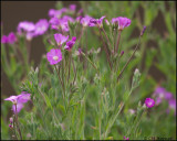 3208 Willow Herb sp