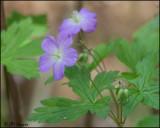 0571 Wild Geranium.jpg