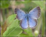 0926 Spring Azure female.jpg