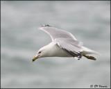 1154 Ring-billed Gull alternate plumage.jpg