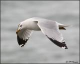 1160 Ring-billed Gull alternate.jpg