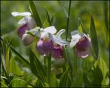 1242 Showy Lady Slipper Orchid.jpg