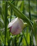 1244 Showy Lady Slipper Orchid.jpg