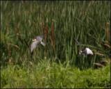 2211 Black Terns.jpg