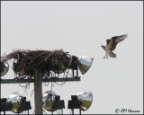 2258. Osprey coming to nestjpg