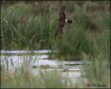 2815 Northern Harrier hunting the marsh.jpg