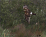 2816 Northern Harrier.jpg