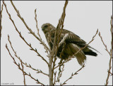 Rough-legged Hawk light morph 888.jpg