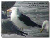 Lesser Black-backed Gull DSCN6310.jpg