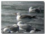 Lesser Black-backed Gull DSCN6337.jpg