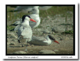 Caspian Tern adult and juvenile 8604.jpg