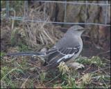 0564 Northern Mockingbird.jpg