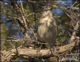 0936 Northern Mockingbird.jpg