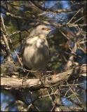 0937 Northern Mockingbird.jpg