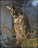 0986 Long-eared Owl.jpg